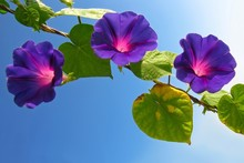 Glowing Morning Glory Flowers Contrasting With Clear Blue Sky.