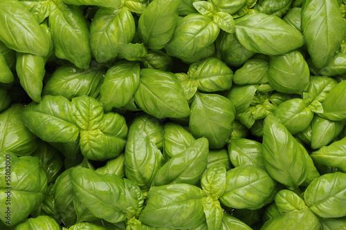 Basil , basic ingredient of pesto Wallpaper Mural