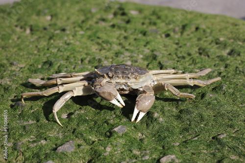 Chinese mitten crab, Eriocheir sinensis