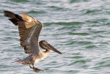Juvenile Brown Pelican (Pelecanus Occidentalis) Touching Down