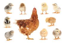 Set Of Chicken On White