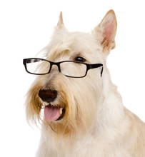 Scottish Terrier  With Glasses. Isolated On White Background