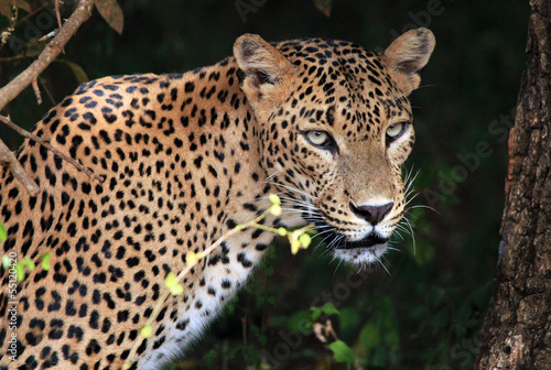 Foto-Flächenvorhang ohne Schienensystem - Portrait of an Sri Lankan Leopard, Yala, Sri Lanka (von Daniel Lamborn)