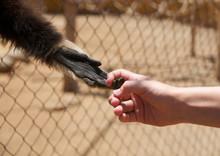 Menschen- Und Affenhand