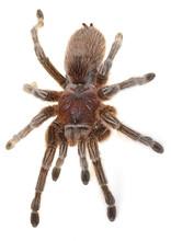 Chilean Rose Spider