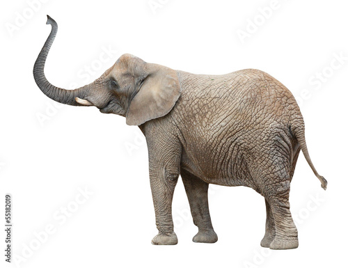 Photo  African elephant (Loxodonta africana) female.