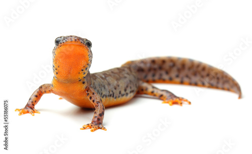 Fotografie, Obraz Carpathian newt (Lissotriton montandoni) on white