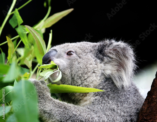 Naklejka premium koala eating eucalyptus leaves.