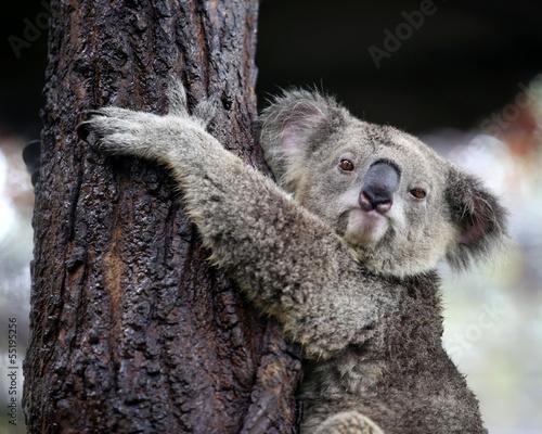 In de dag Koala koala looking camera