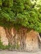 drzewo w murze