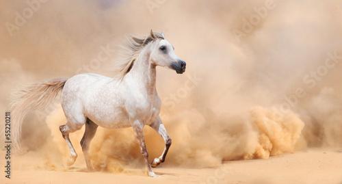 Fototapety, obrazy: arab stallion in desert