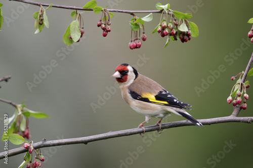 Stampa su Tela Goldfinch, Carduelis carduelis