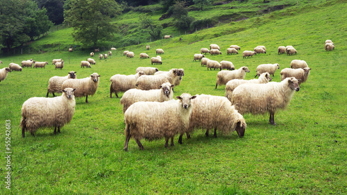 Foto op Canvas Schapen flock of sheep