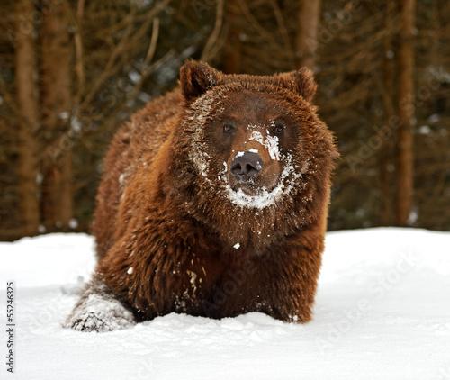 Foto-Flächenvorhang ohne Schienensystem - Brown bear (von kyslynskyy)