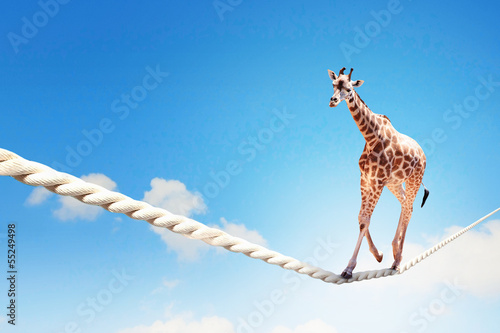 Fotobehang Giraffe Giraffe walking on rope