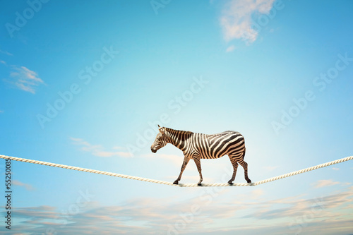 Poster Zebra Zebra walking on rope