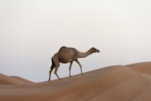 Dromedary (Camelus Dromedarius) Walking On A Dune, Wahiba, Oman