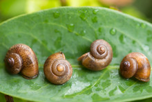 Snails Play Dead By Shutting Their Aperture With Operculum