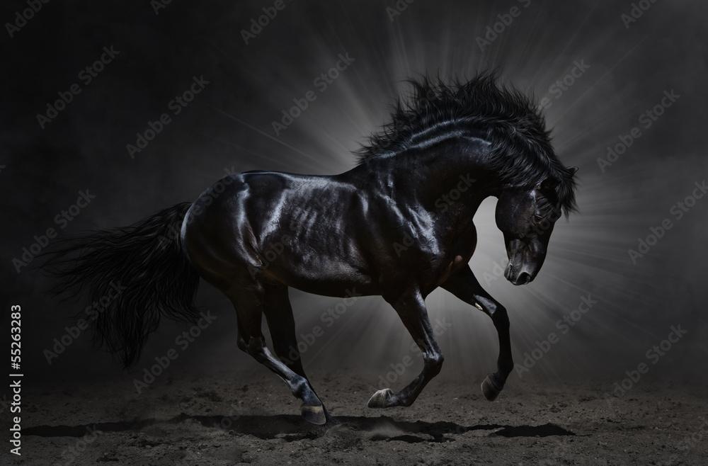 Fototapety, obrazy: Black Andalusian stallion gallops