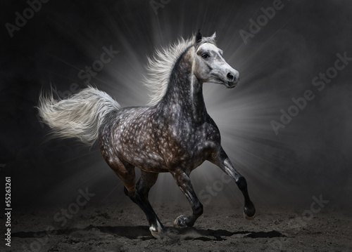 Gray arabian horse gallops on dark background