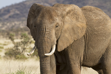 FototapetaPortrait of african elephant