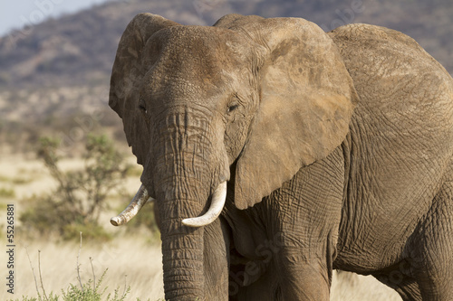 Portrait of african elephant - 55265881