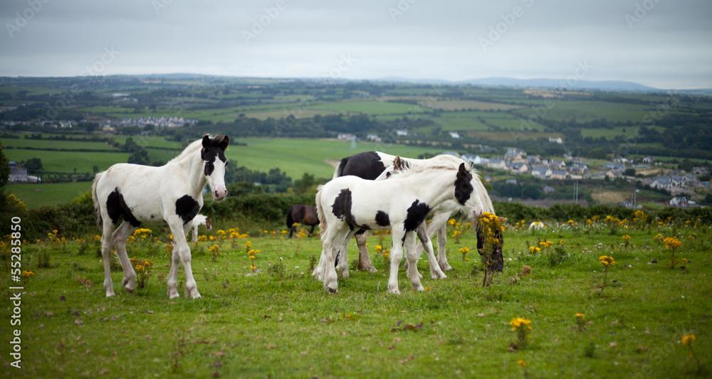 Fototapeta Irlandia widok koń młody kucyk źrebak