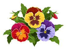 Colorful Pansy Flowers. Vector...