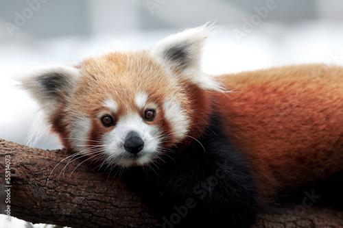 Fotografie, Tablou Red Panda