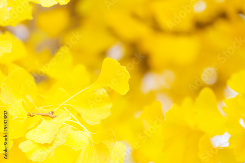 Fotobehang Zwavel geel Autumn gingko