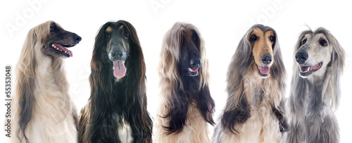 afghan dogs Canvas Print