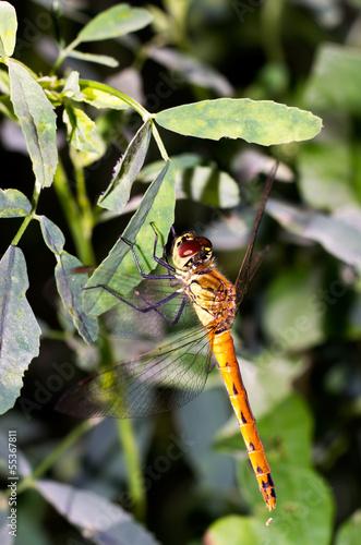 Fotografie, Obraz  Libellula gialla su foglie verdi