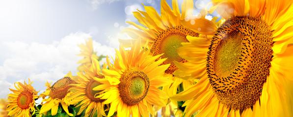 Panel Szklany Podświetlane Słoneczniki kwiaty