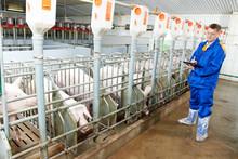 Veterinarian Doctor Examining Pigs At A Pig Farm