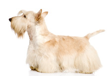 Scottish Terrier Isolated On White Background