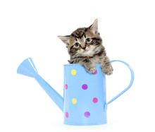 Cute Kitten In Watering Can