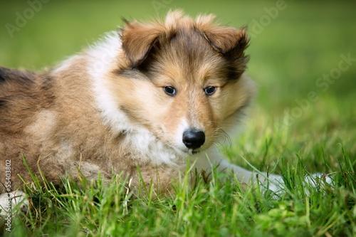 Keuken foto achterwand Kat of Collie puppy on meadow