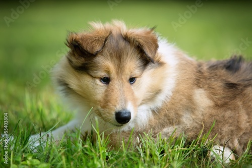 of Collie puppy on meadow