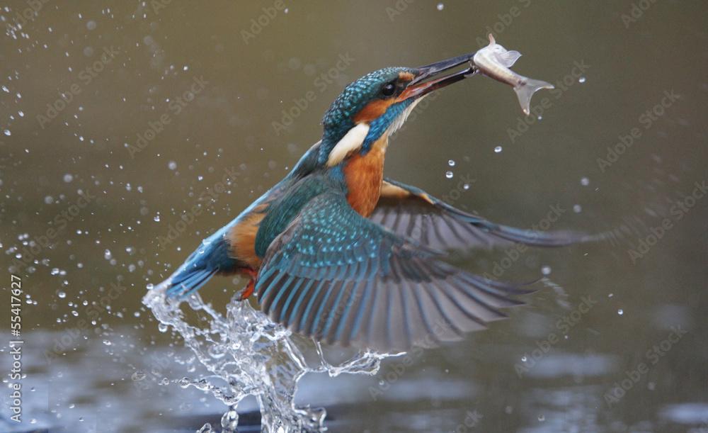 Fototapeta Kingfisher, Alcedo atthis