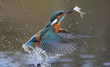 canvas print picture - Kingfisher, Alcedo atthis