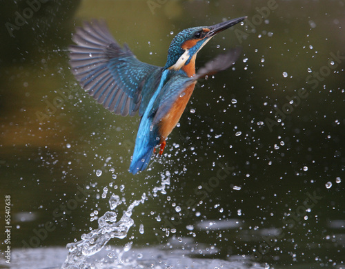 Photo Stands Bird Kingfisher, Alcedo atthis