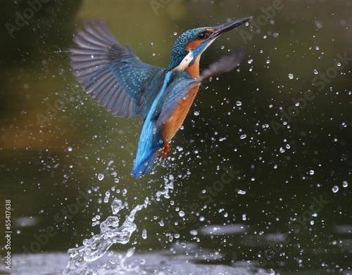 Kingfisher, Alcedo atthis Fototapet