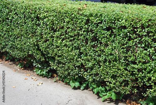 Cuadros en Lienzo Japanese knotweed in a hedgerow