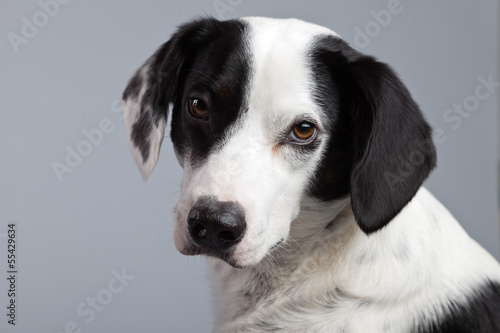 Photographie  Mixed breed black and white spotted dog isolated against grey ba