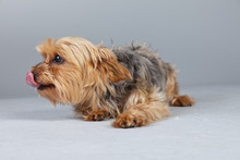 Red Norfolk Terrier Dog Isolat...