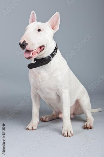 Fotografiet Bull terrier dog isolated against grey background. Studio portra