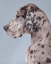 Puppy Great Dane Dog Grey With...