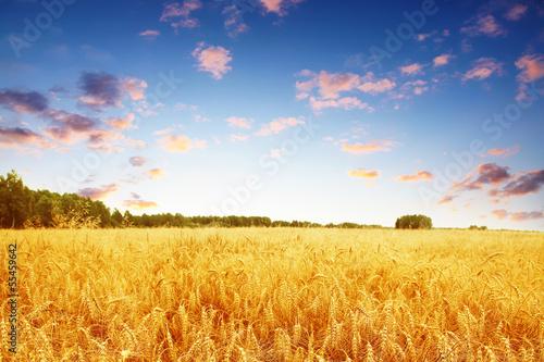 Carta da parati Wheat field and colorful sunset.