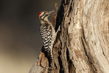 Ladder-backed Woodpecker, Pico...