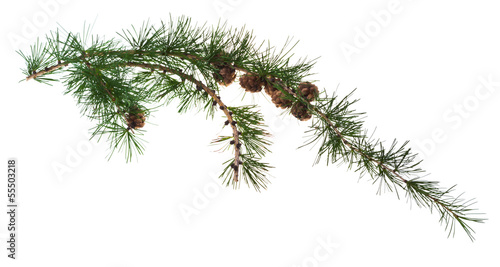 pine cones on branch of conifer tree Fototapet